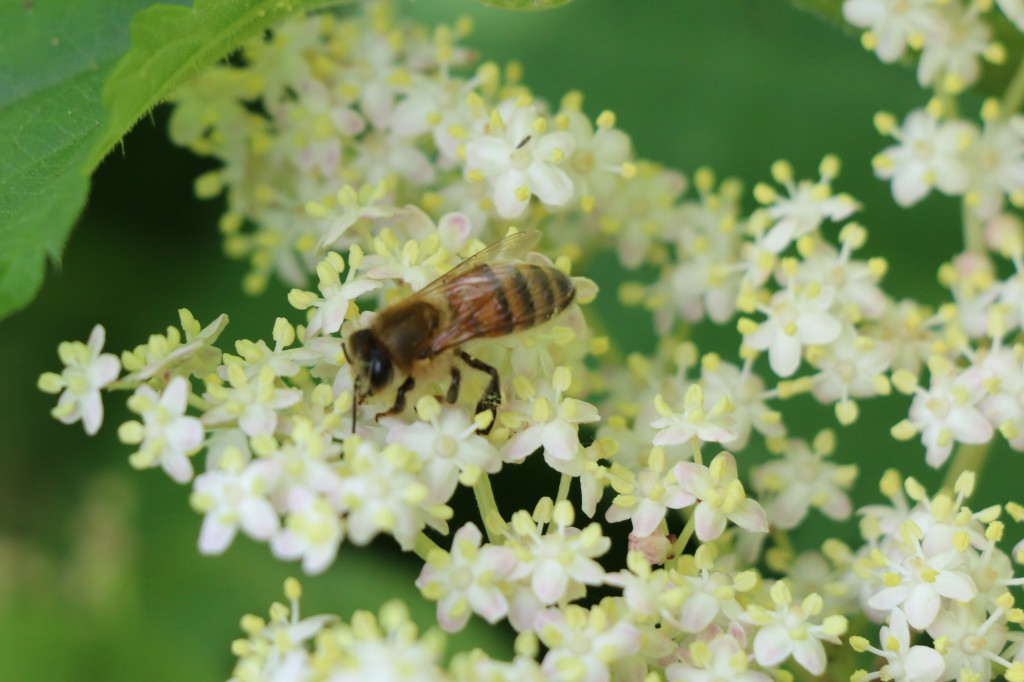 elderflower with bee collecting pollen