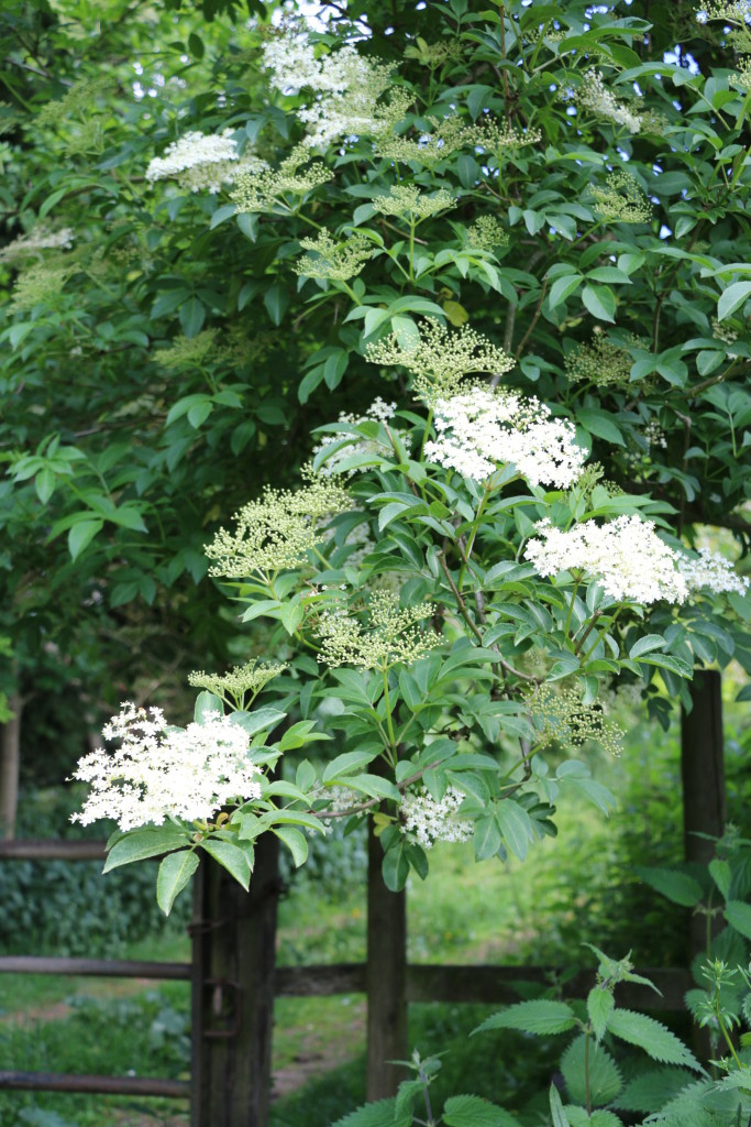 elderflowers over the gate