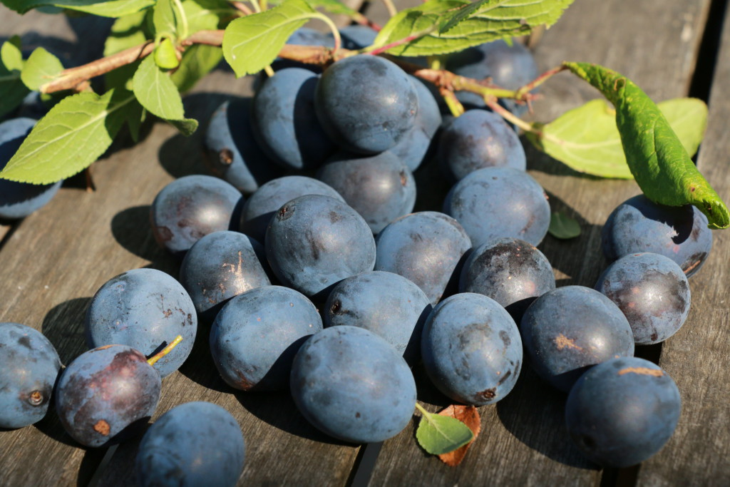 DAMSONS JUST PICKED