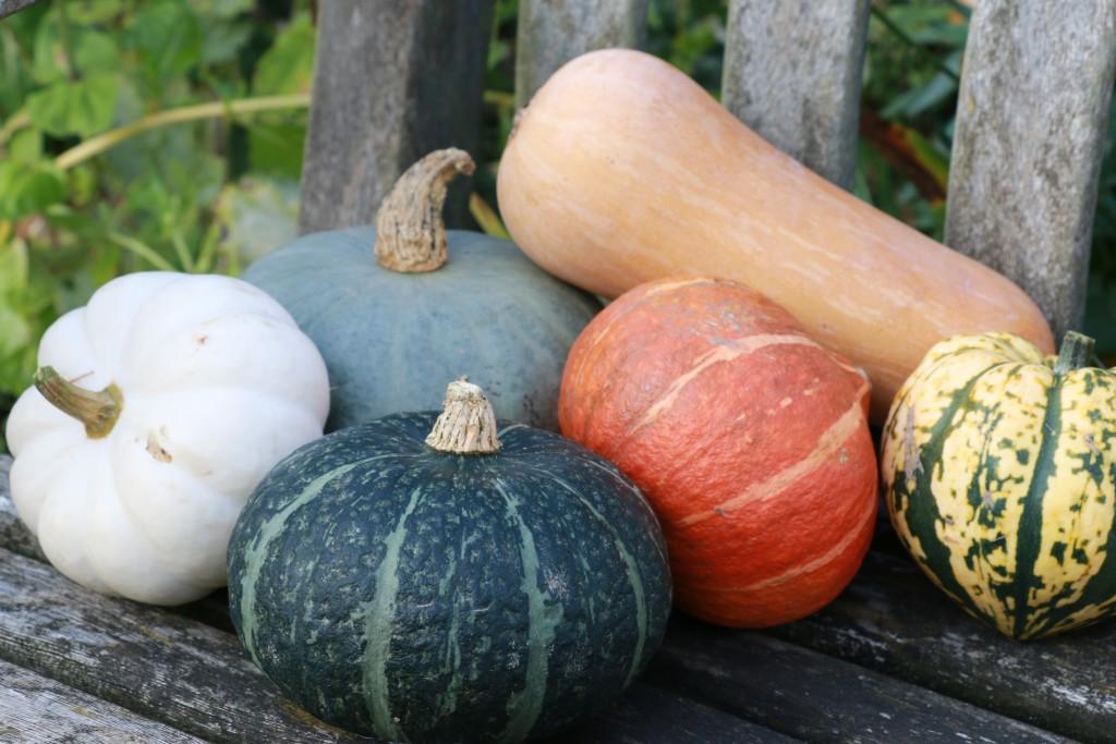 Squash varieties CN